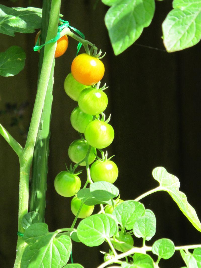 Green tomato 2